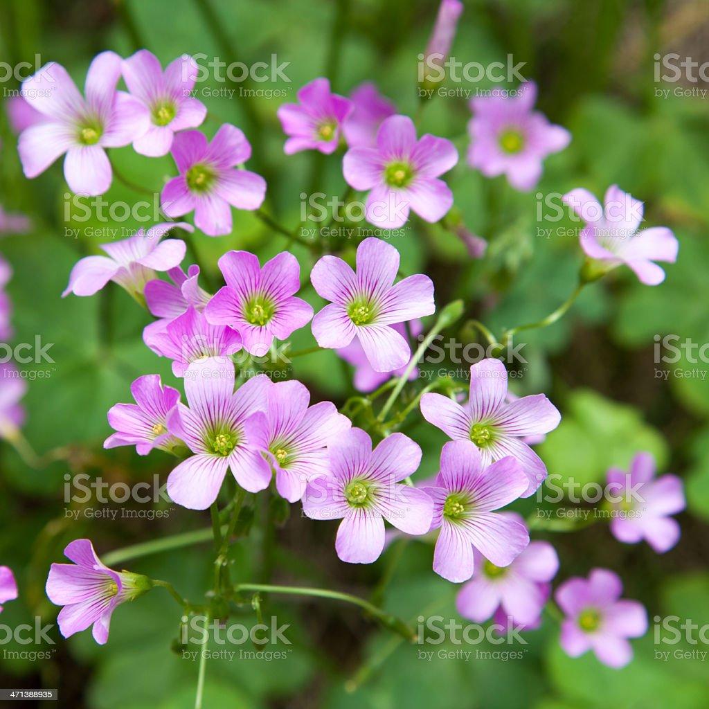 Pink oxalis(Oxalis corymbosa) stock photo