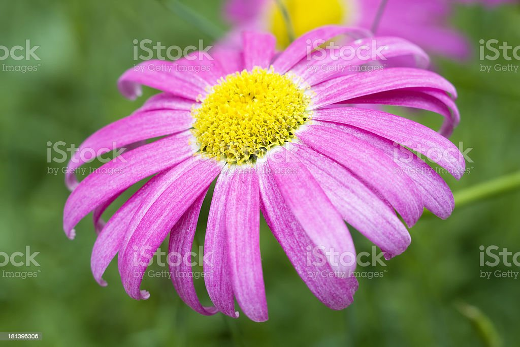 Pink Painted Daisy royalty-free stock photo