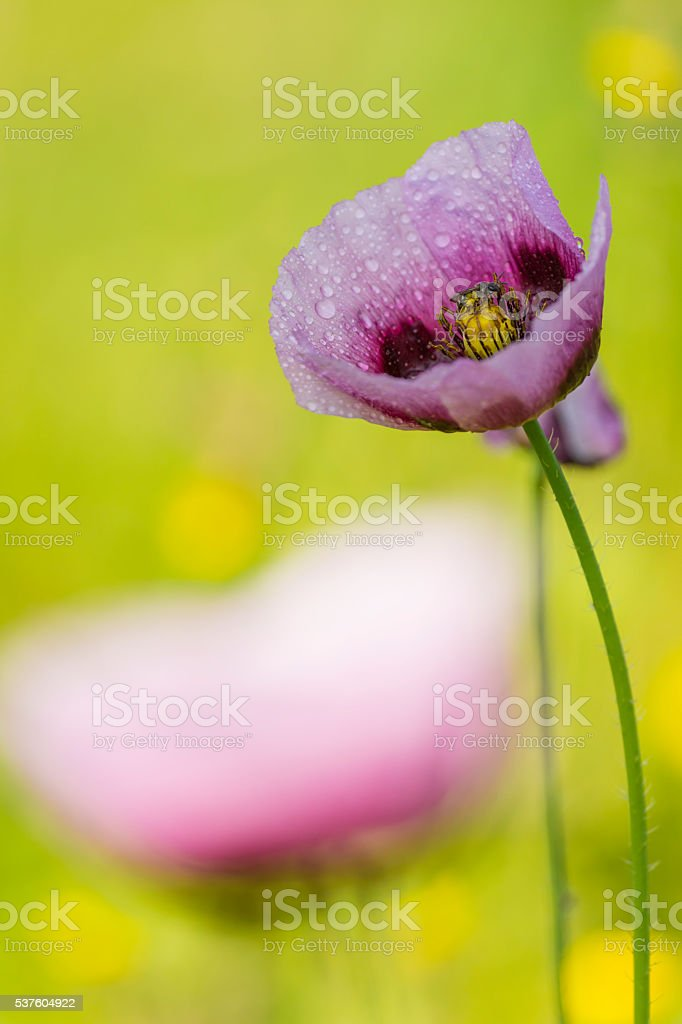 Pink papaver with little bee feeding stock photo