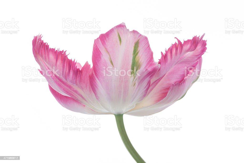 XXXL: Pink parrot tulip against a white background. stock photo