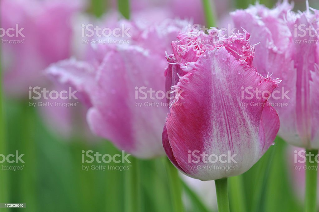 Pink Parrot Tulips stock photo