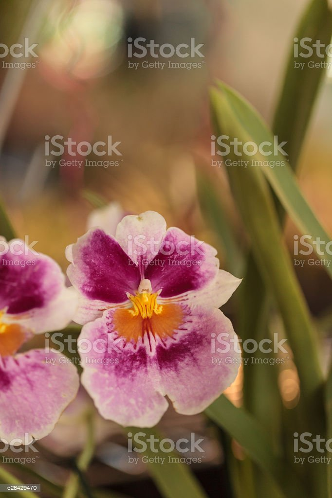 Pink pattern on a white pansy orchid stock photo