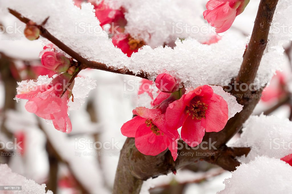 Pink peach blossom dusted with snow stock photo