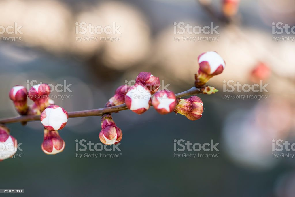 Pink Peach Blossoms stock photo
