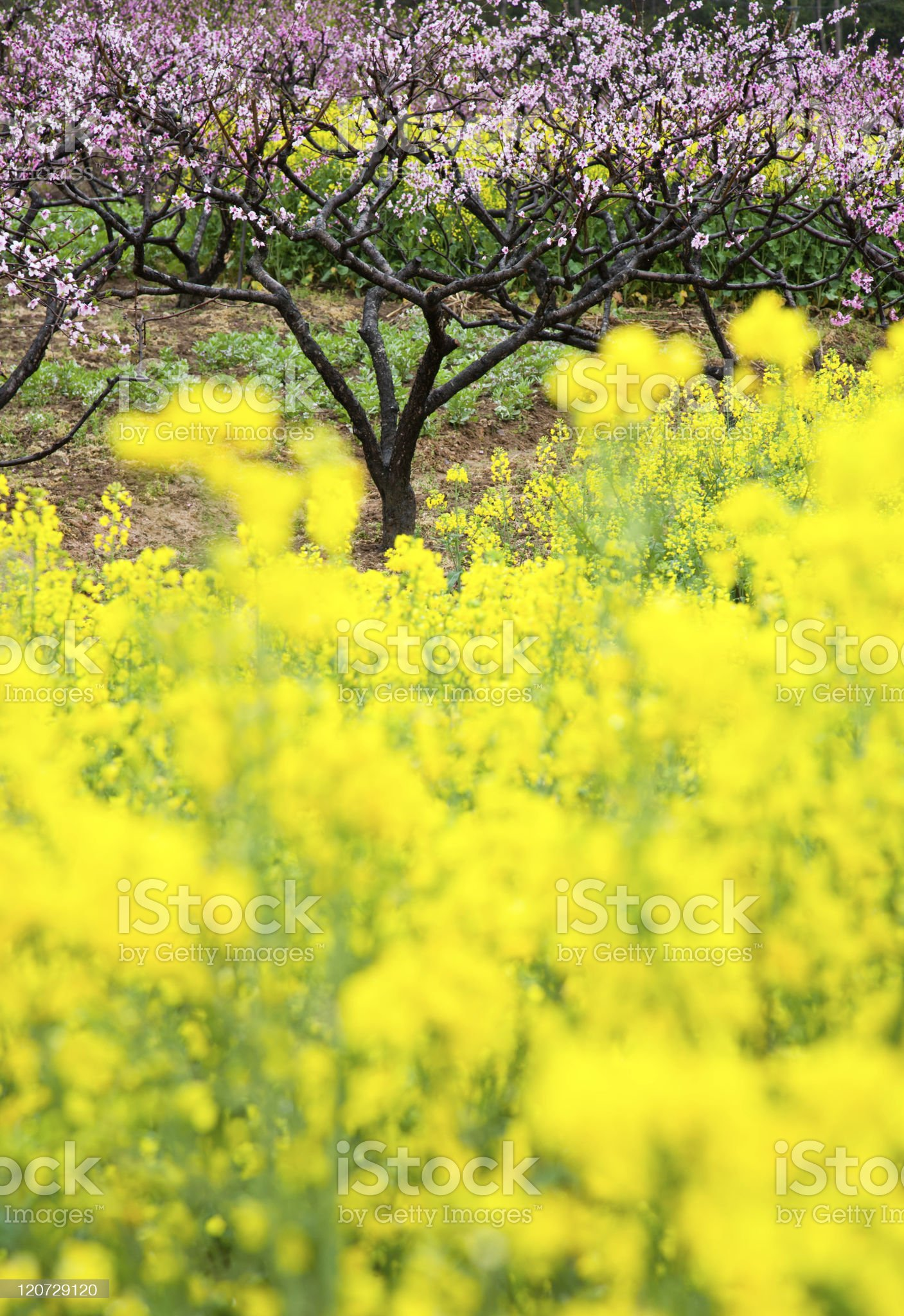 pink peach flowers with Blooming OilSeed Rape royalty-free stock photo