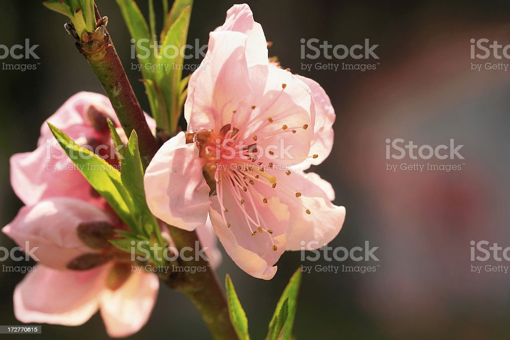 Pink peach fruit tree blossom in sunlight royalty-free stock photo