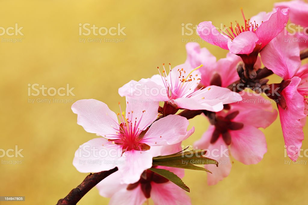 Pink peach stock photo