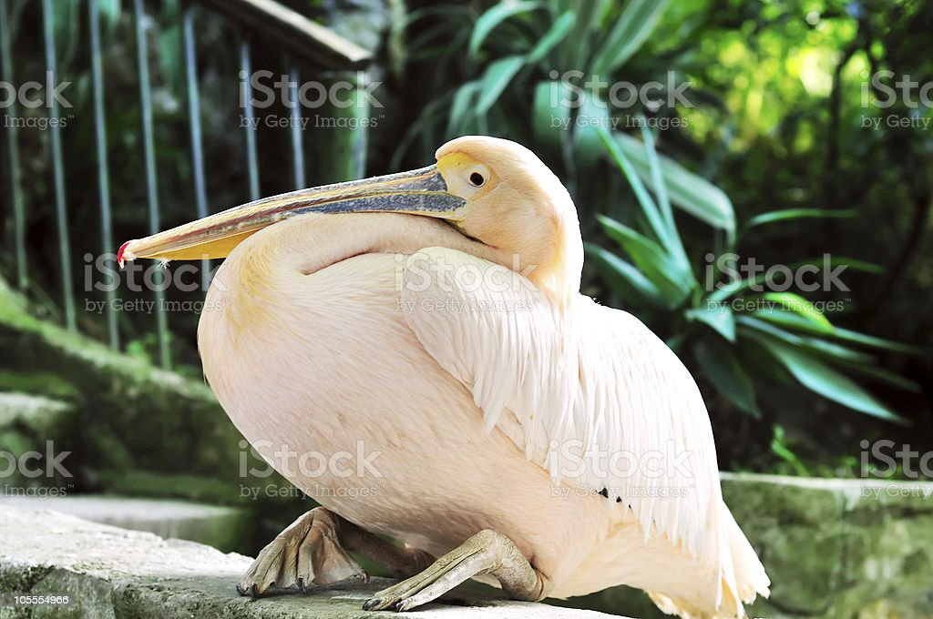 Pink pelican royalty-free stock photo