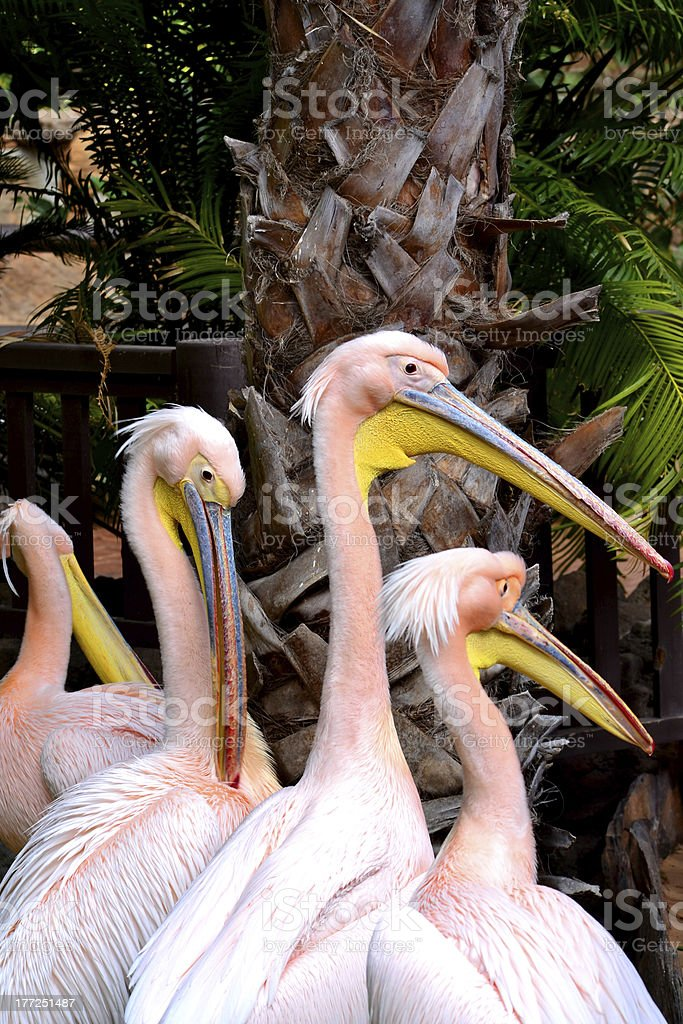 Pink pelicans royalty-free stock photo