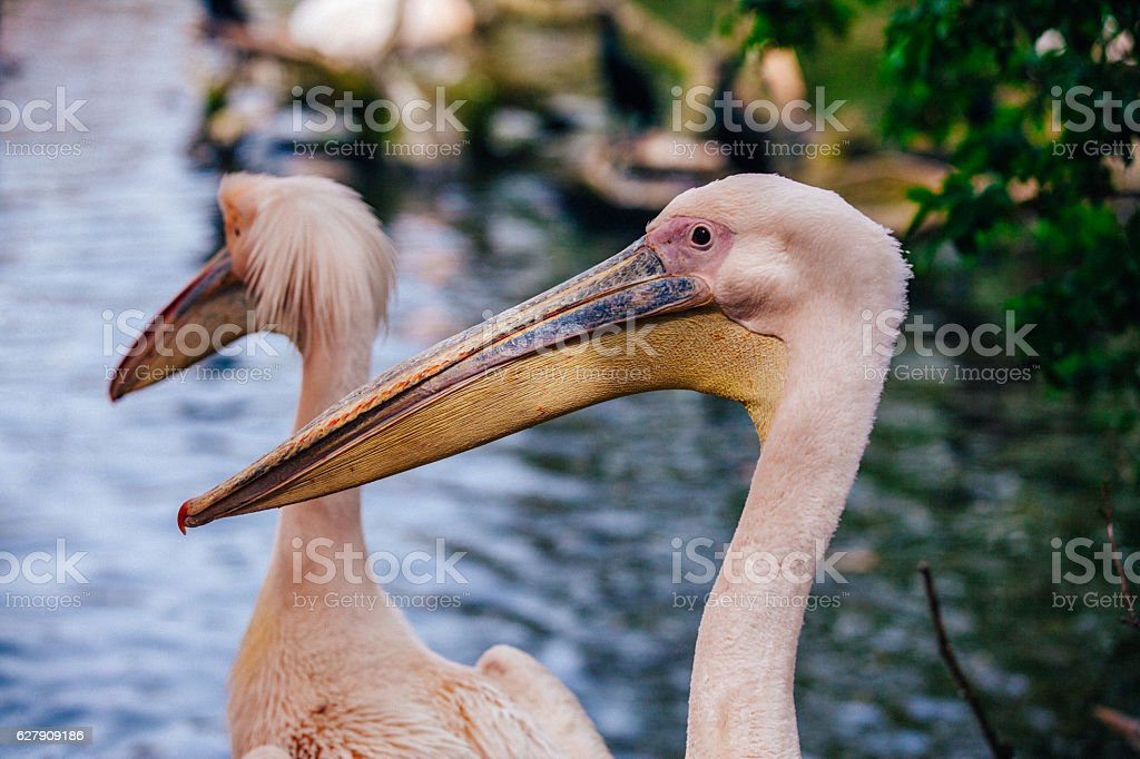 Pink pelicans stock photo