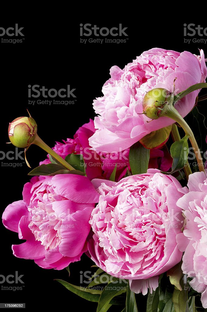 Pink peonies in bouquet on black. stock photo