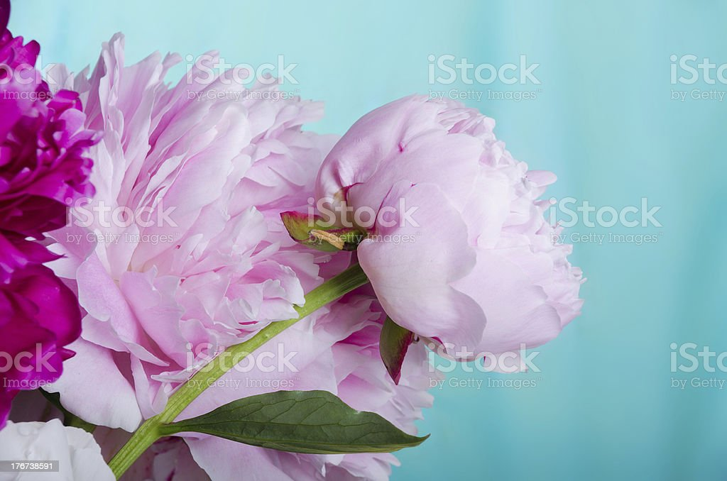 Pink peonies of blue-green background. stock photo
