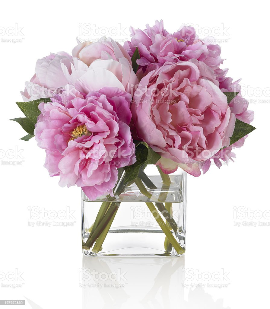 Pink Peonies on white background stock photo