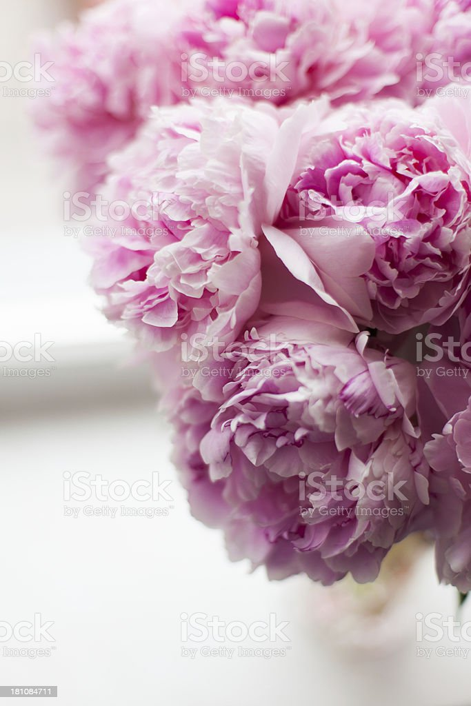 Pink peonies royalty-free stock photo