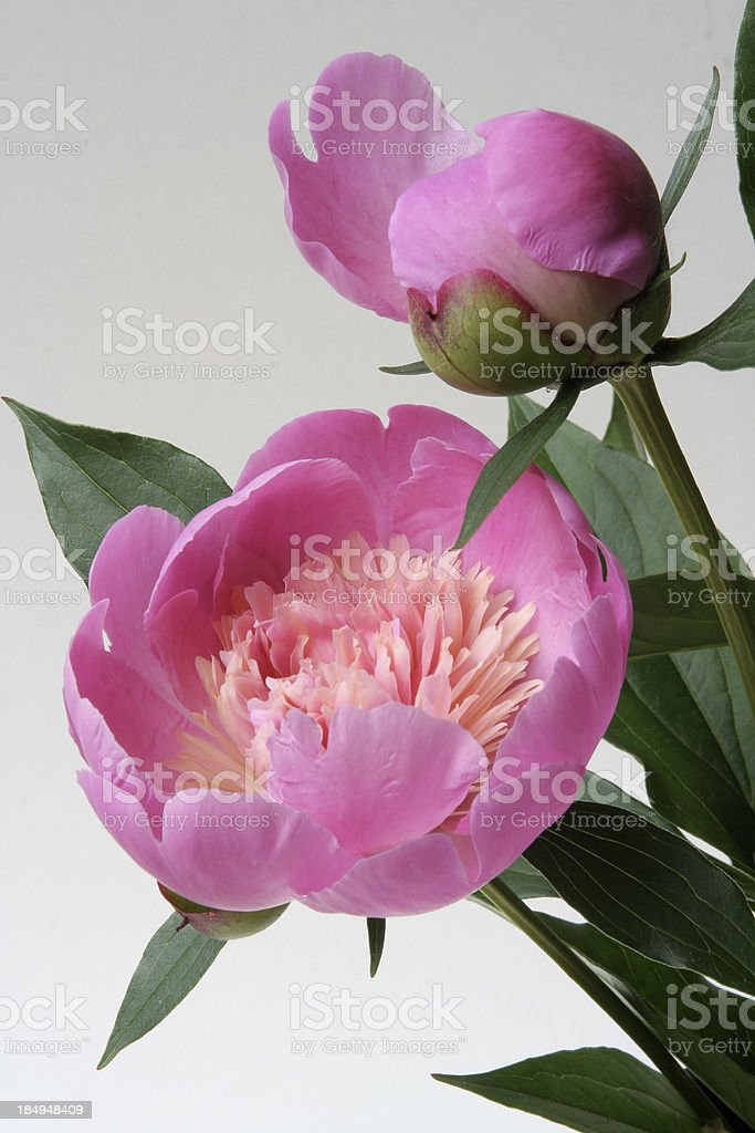 Pink Peonies Vt royalty-free stock photo