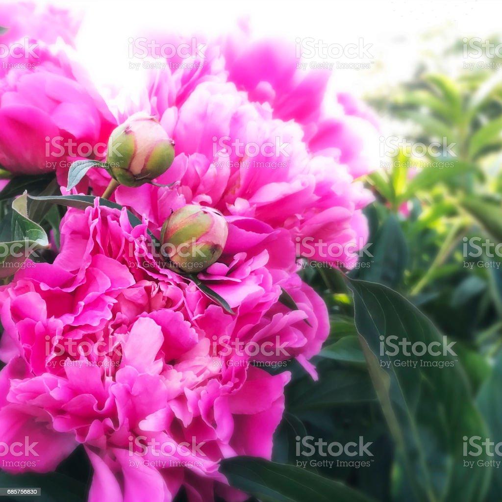 Pink Peony Blossoms stock photo