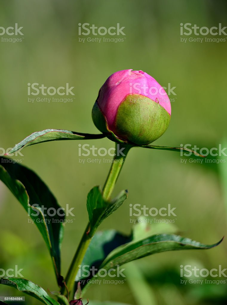 Pink peony bud stock photo