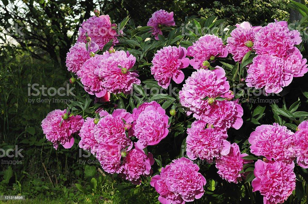 Pink Peony Bush royalty-free stock photo