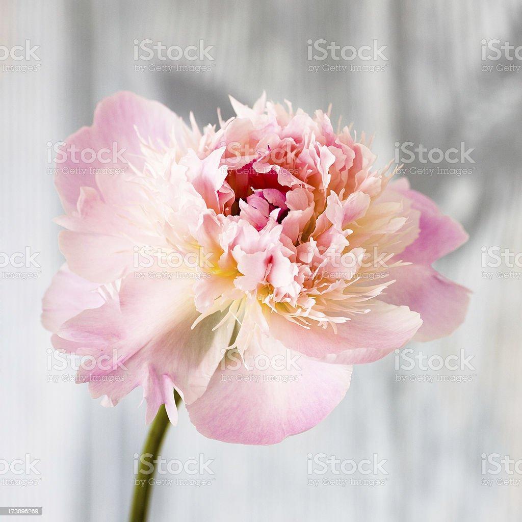 Pink peony close-up royalty-free stock photo