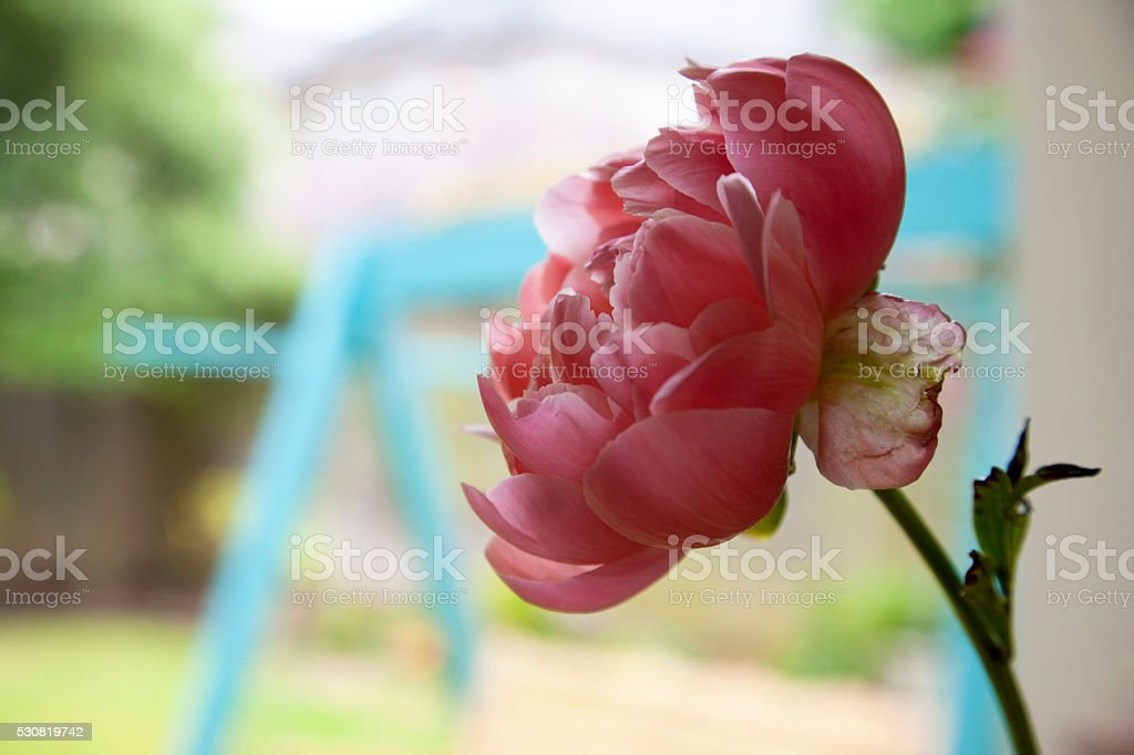 Pink peony flower in back light stock photo