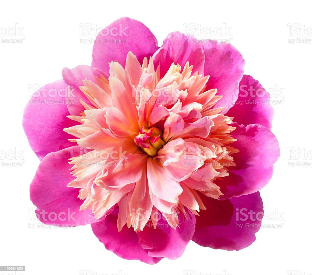 Pink peony flower isolated on white background. stock photo