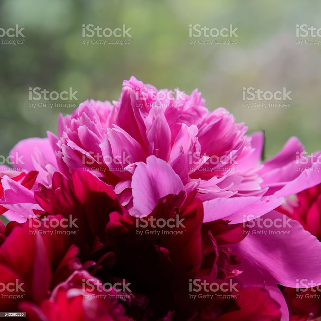 Pink peony flower petal background. Paeonia lactiflora stock photo