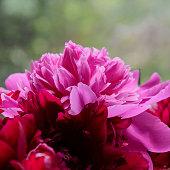Pink peony flower petal background. Paeonia lactiflora