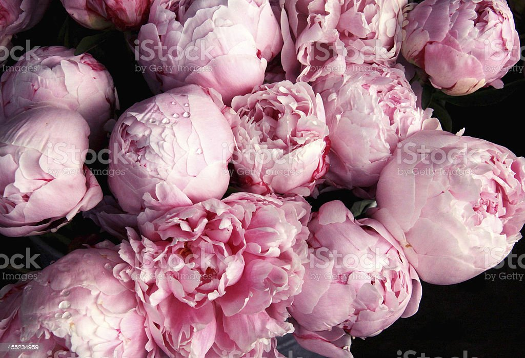 pink peony flowers with raindrops stock photo