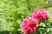 pink peony in green background