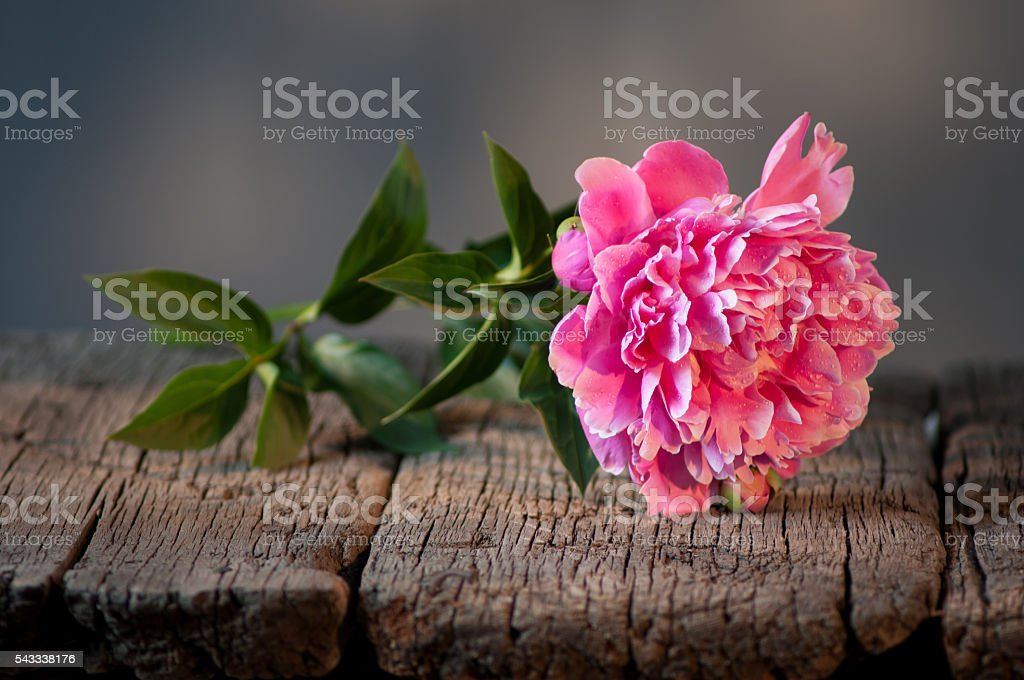 Pink peony on a wooden table. stock photo
