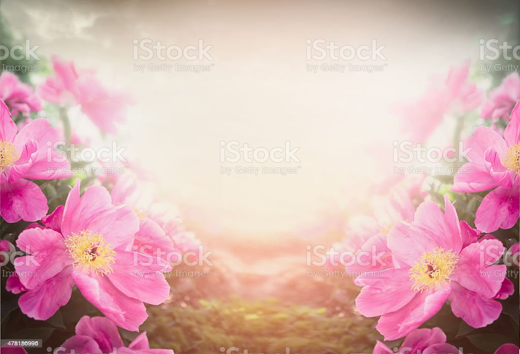 Pink peony on blurred nature background, floral border stock photo