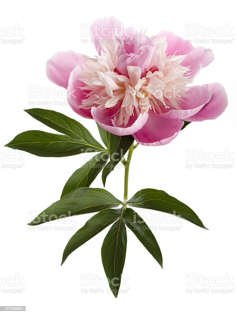 Pink peony on white background (Paeonia lactiflora) royalty-free stock photo