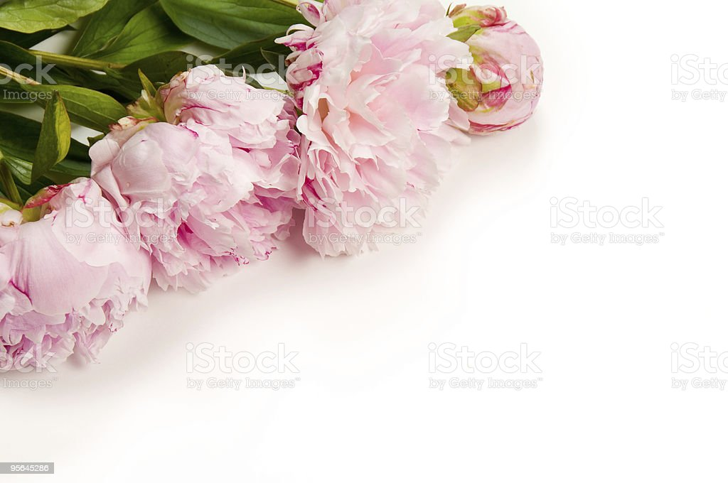 Pink Peony royalty-free stock photo