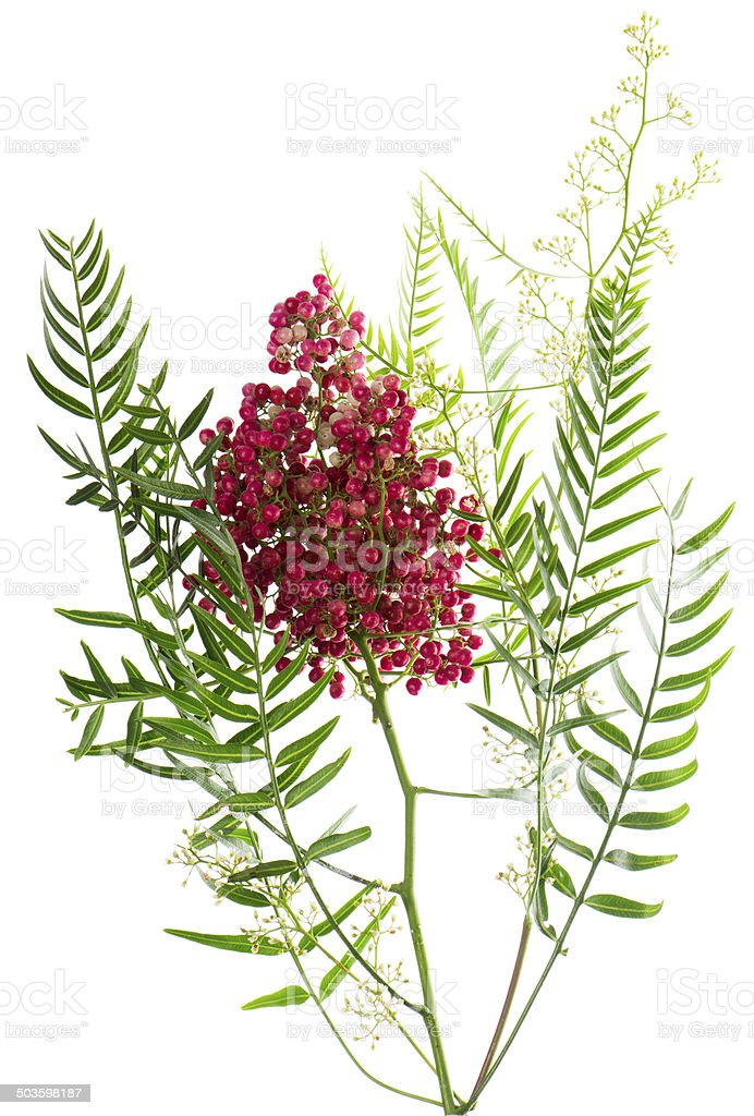 Pink peppercorn.  Peruvian Pepper Tree ( Schinus molle L.) stock photo