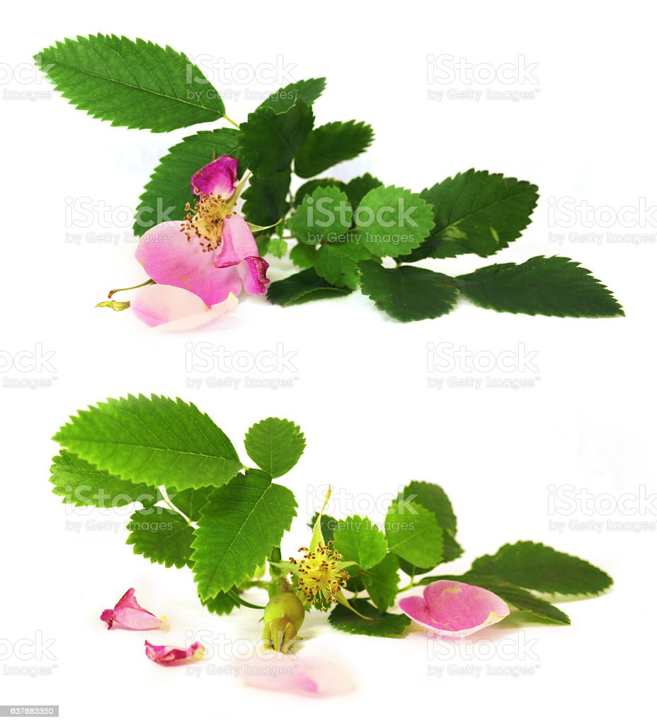 pink petals briar fresh flowers isolated stock photo