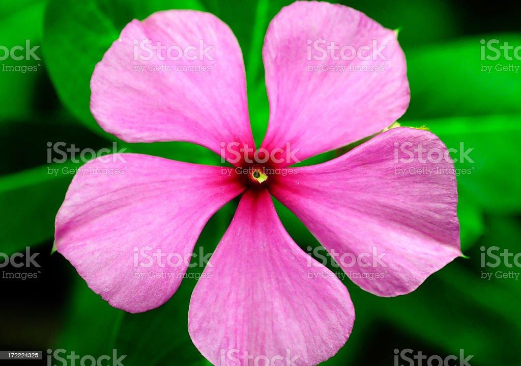 Pink Petals stock photo