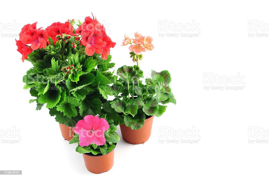 pink Petunia and Pelargonium (Cransbill) in flower pot royalty-free stock photo
