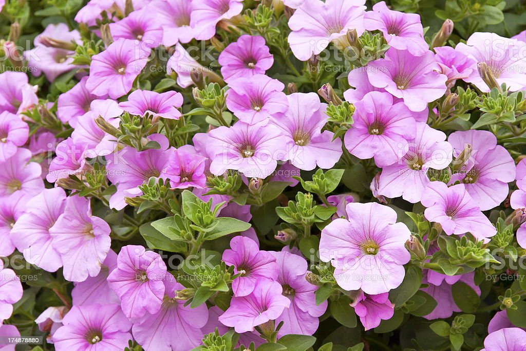 Pink Petunia Bouquet royalty-free stock photo