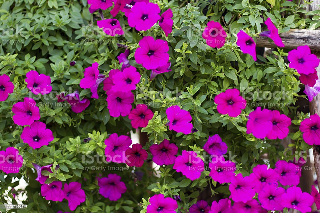 Pink petunia flower plants in the garden. royalty-free stock photo