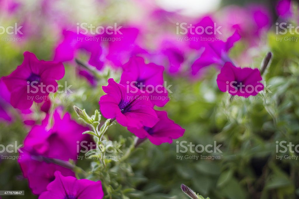 Pink petunia flower with blur background royalty-free stock photo