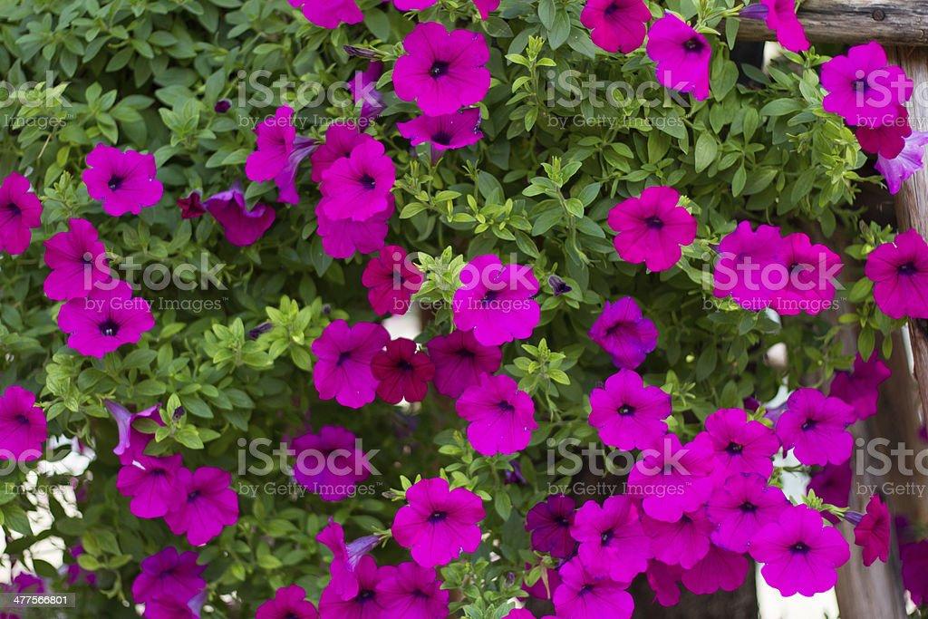 Pink petunia royalty-free stock photo