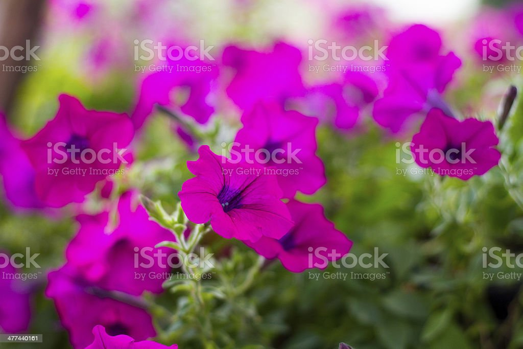 Pink petunia with blur background royalty-free stock photo