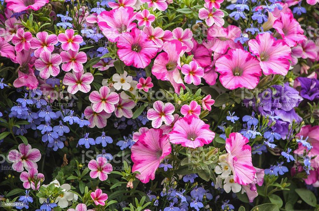 Pink Petunias and Blue Lobelia stock photo