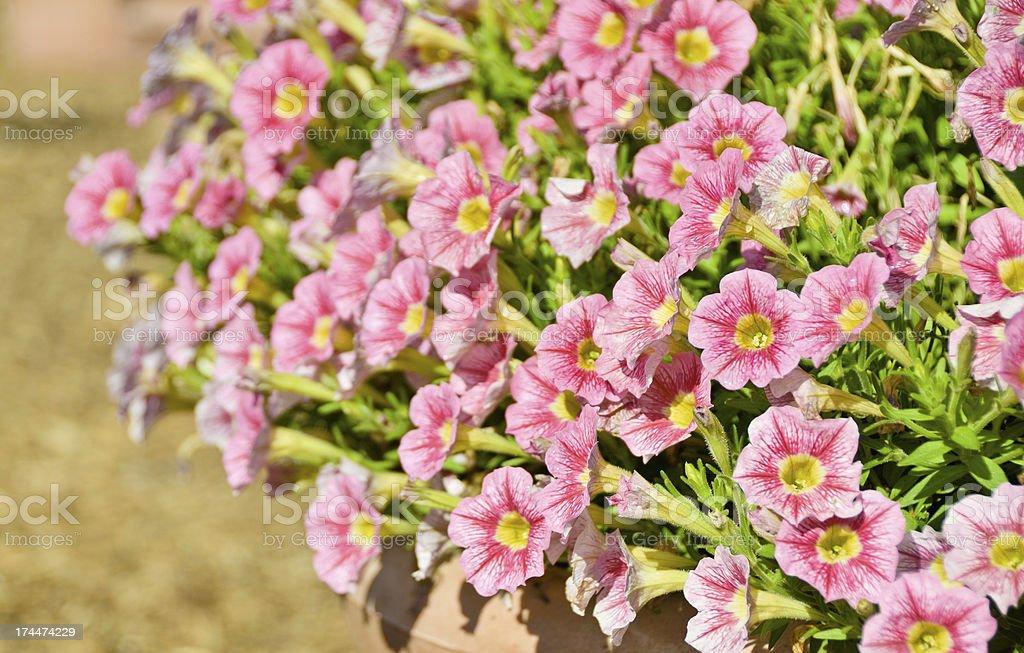 Pink Petunias royalty-free stock photo