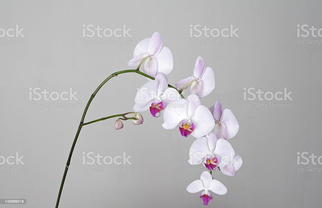 Pink Phalaenopsis Fifi, Fuchsia Lip, Hybrid Orchid royalty-free stock photo