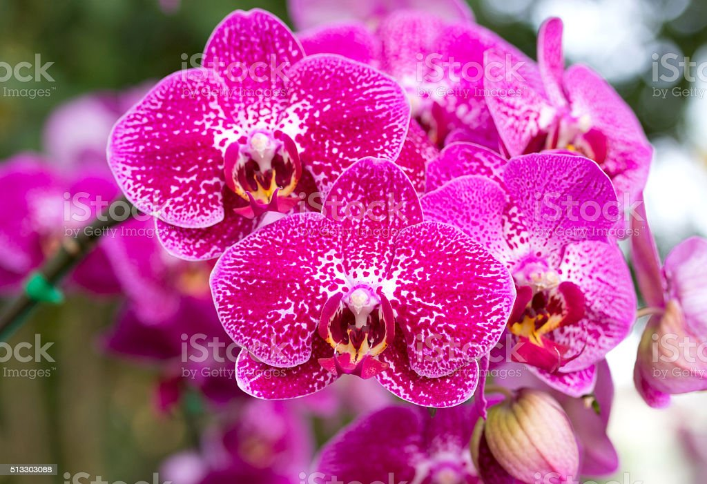 Pink phalaenopsis orchid flower stock photo