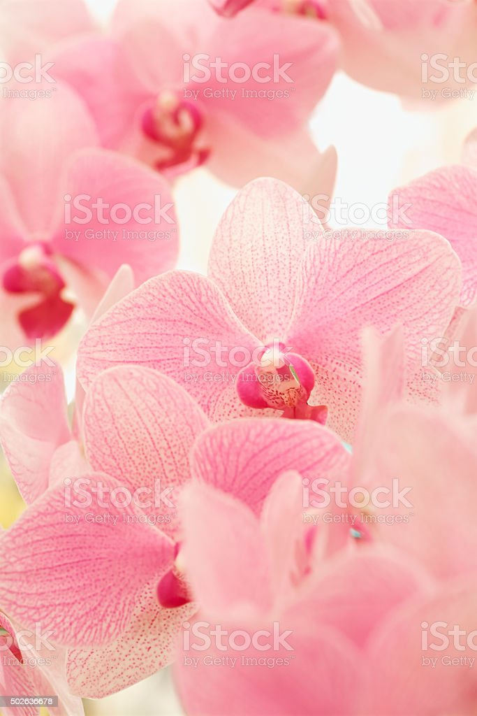 Pink Phalaenopsis orchid in full bloom stock photo