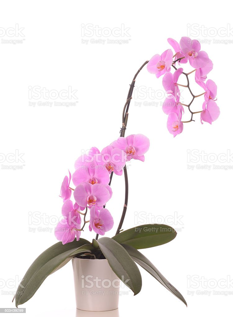 Pink Phalaenopsis Orchid royalty-free stock photo