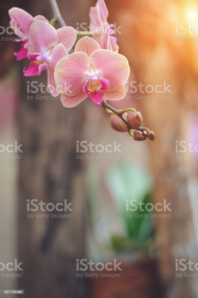 Pink Phalaenopsis orchid stock photo