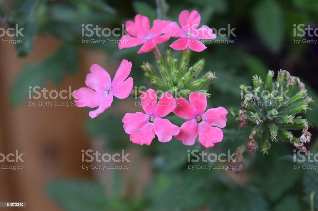 Pink Phlox flower royalty-free stock photo